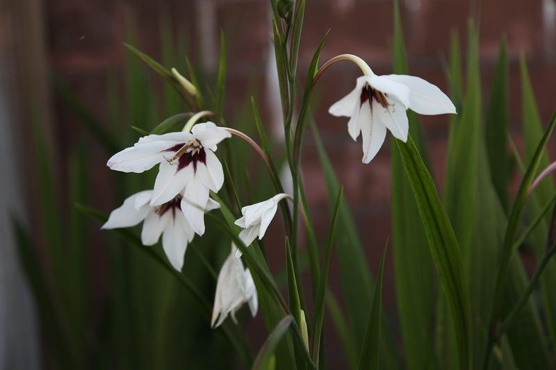 1cdd6217c3 - How to Plant and Care for Acidanthera