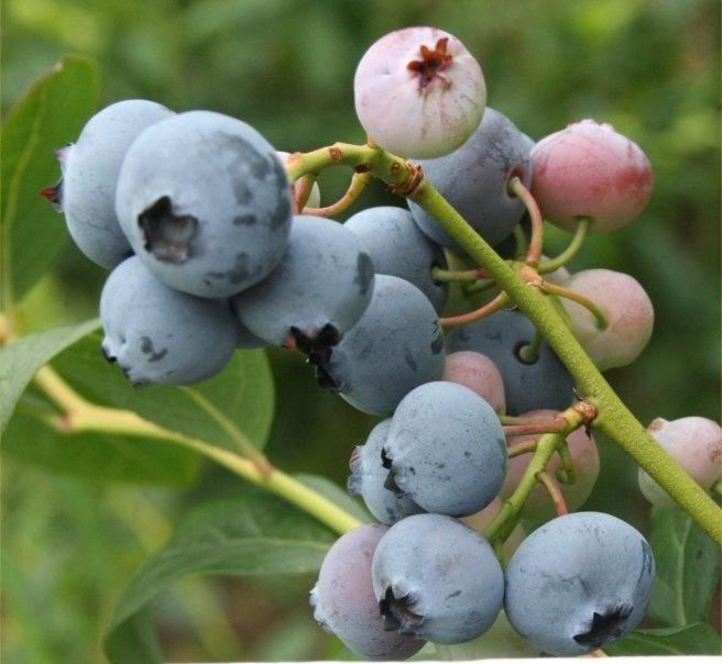 0a5e489949 - How to Plant and Care for Blueberry