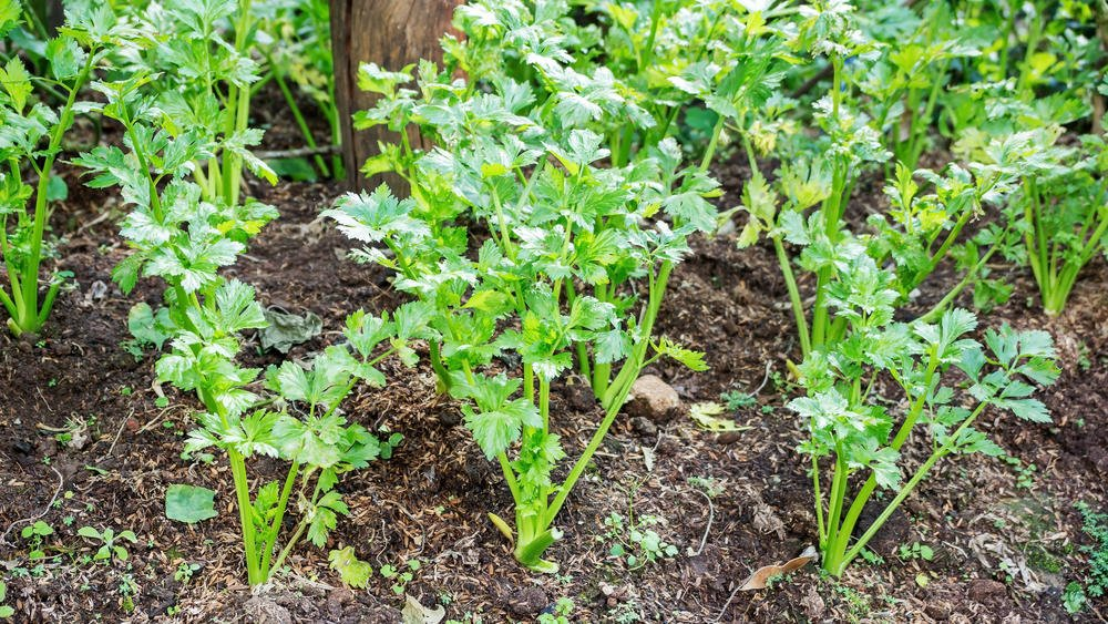 How To Plant And Care For Celery