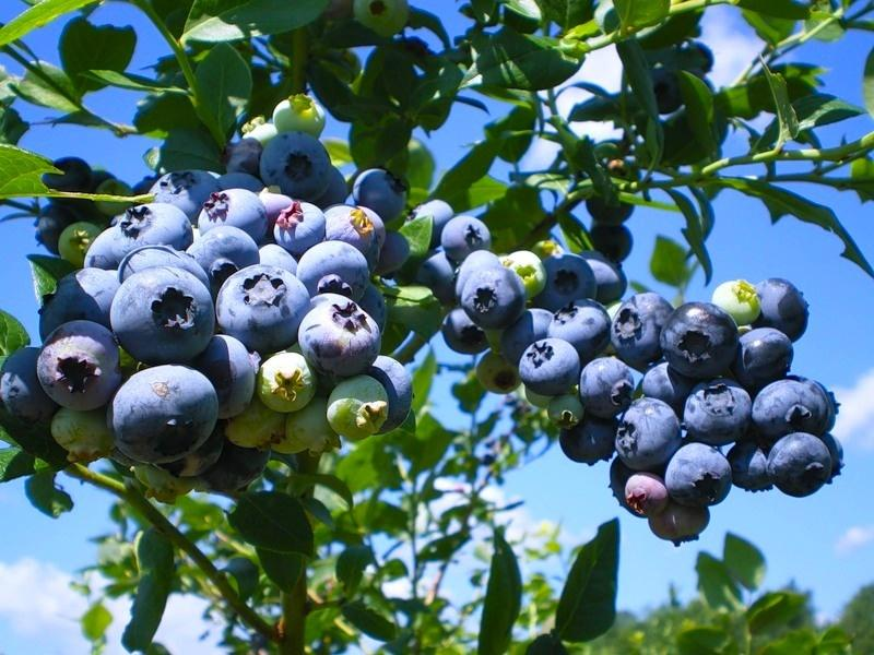 1 - How to Plant and Care for Blueberry