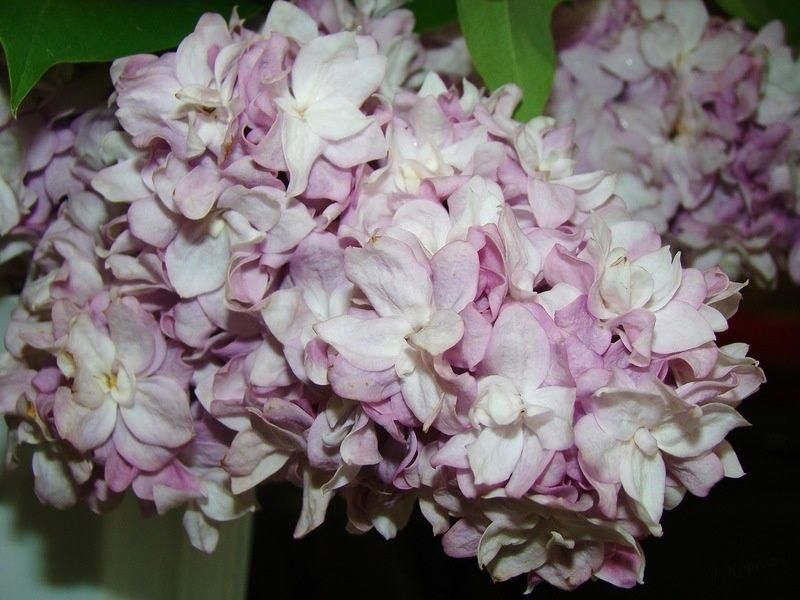 How To Plant And Care For Lilac