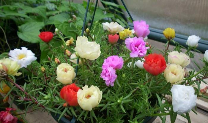 How To Plant And Care For Common Purslane