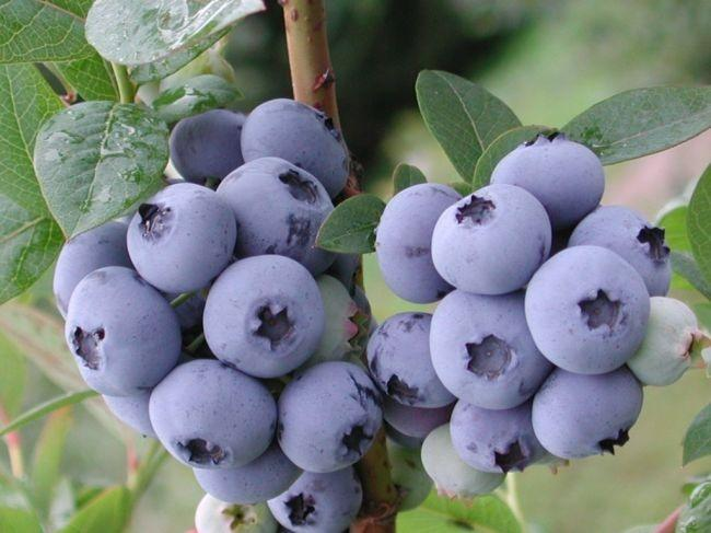 e11a9b - How to Plant and Care for Blueberry