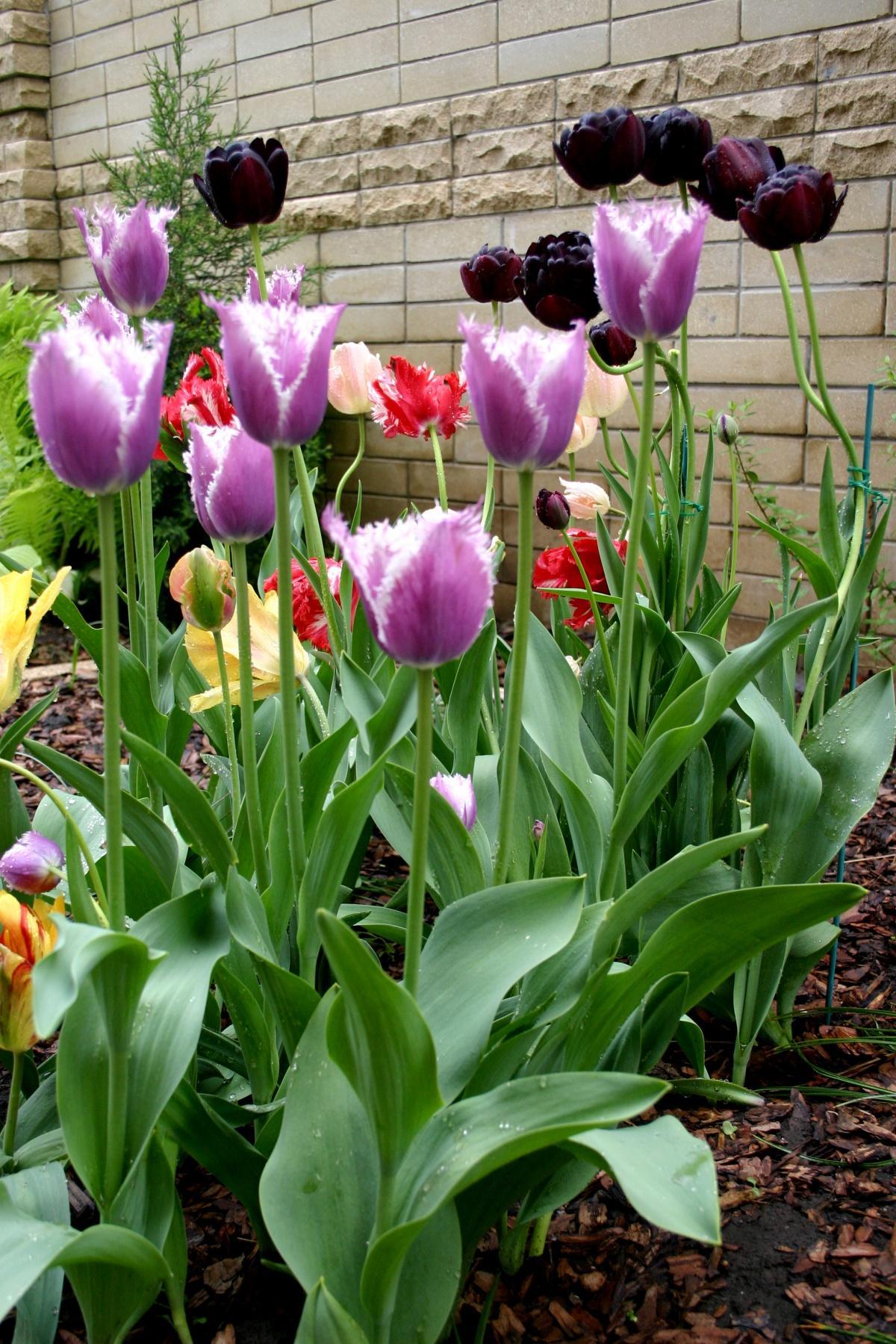 Tulips and Art Nouveau