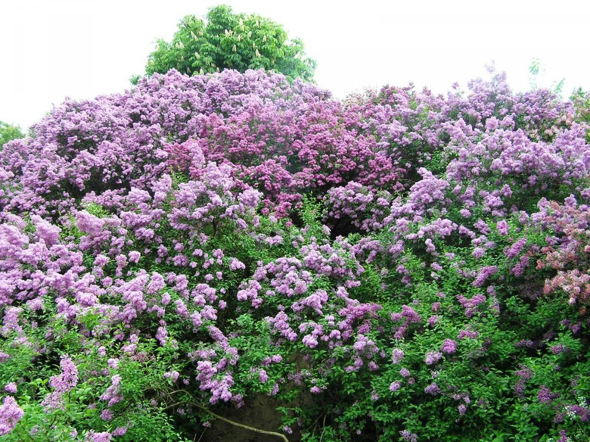 Features of Pruning Shrubs (part 4)