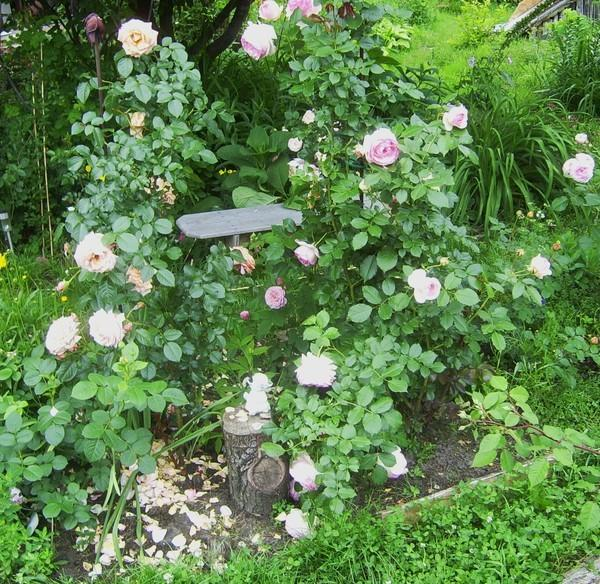 Various Options of Planting the Roses