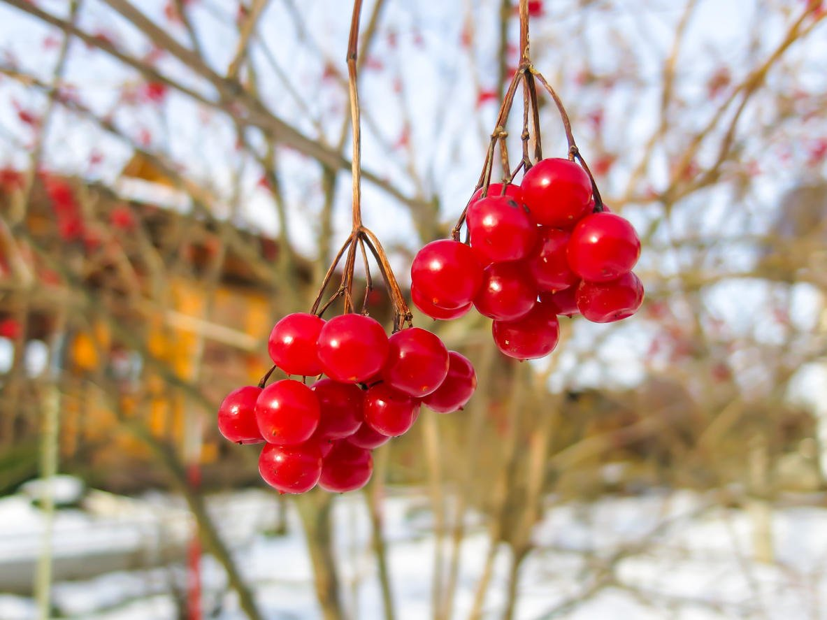 How To Plant And Care For Viburnum - 5 Best Varieties