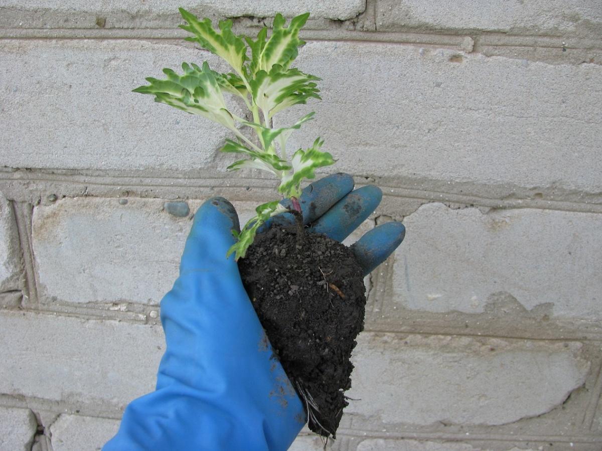 General Guidelines when Planting Flower Seedlings