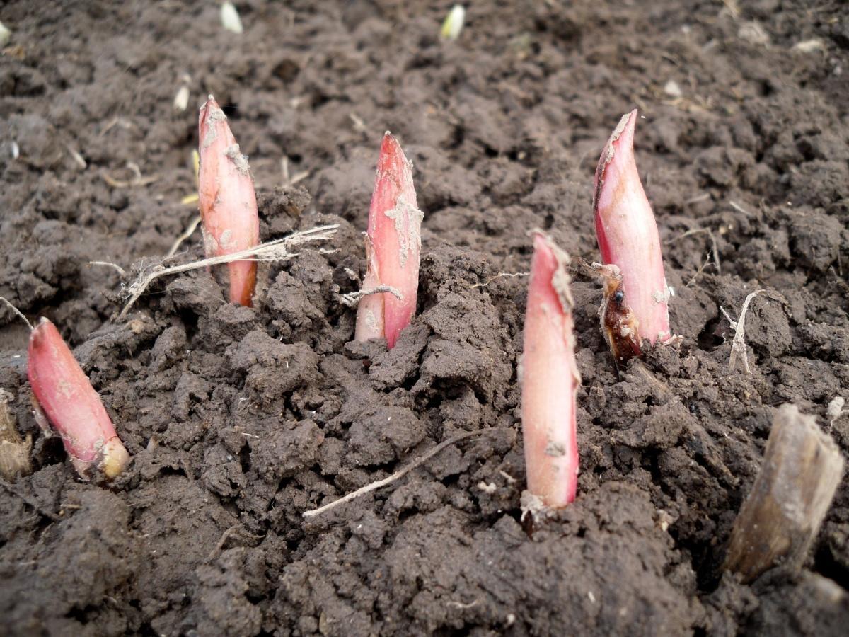 d6161a - Spring transplanting Peonies