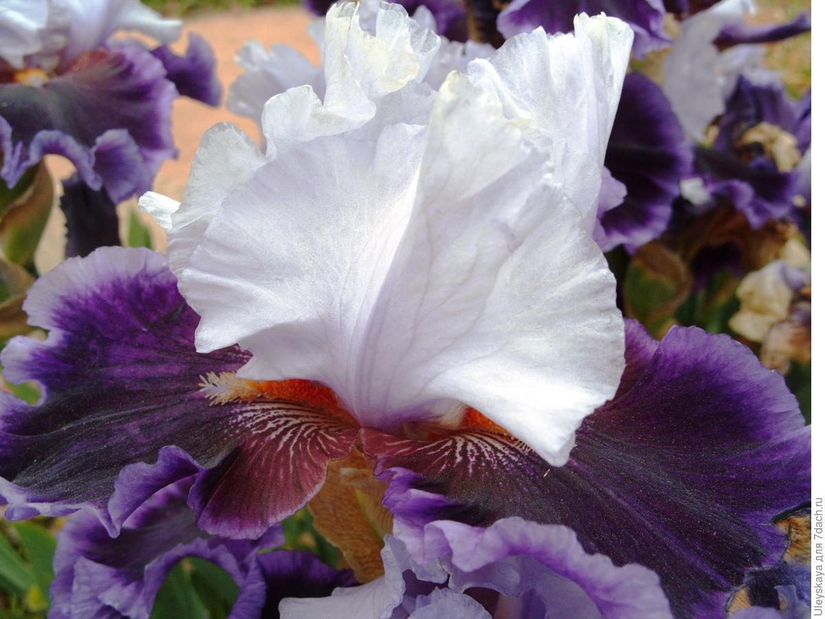 The Glamour and Luxury of Irises