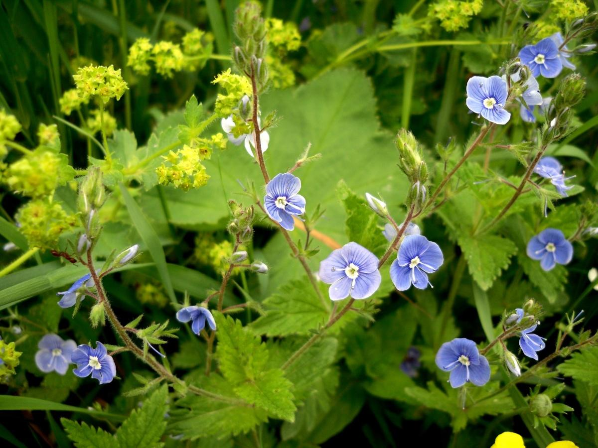 Veronica Chamaedrys is a Wonderful Plant in the Garden