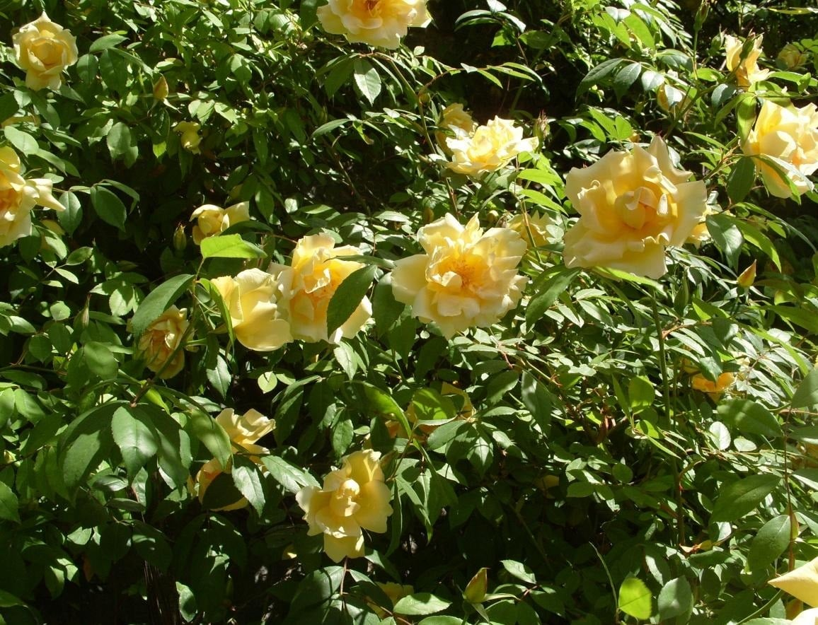 Real Decoration of the Garden - Climbing Roses