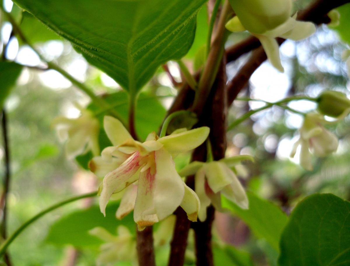 Schisandra Bloom