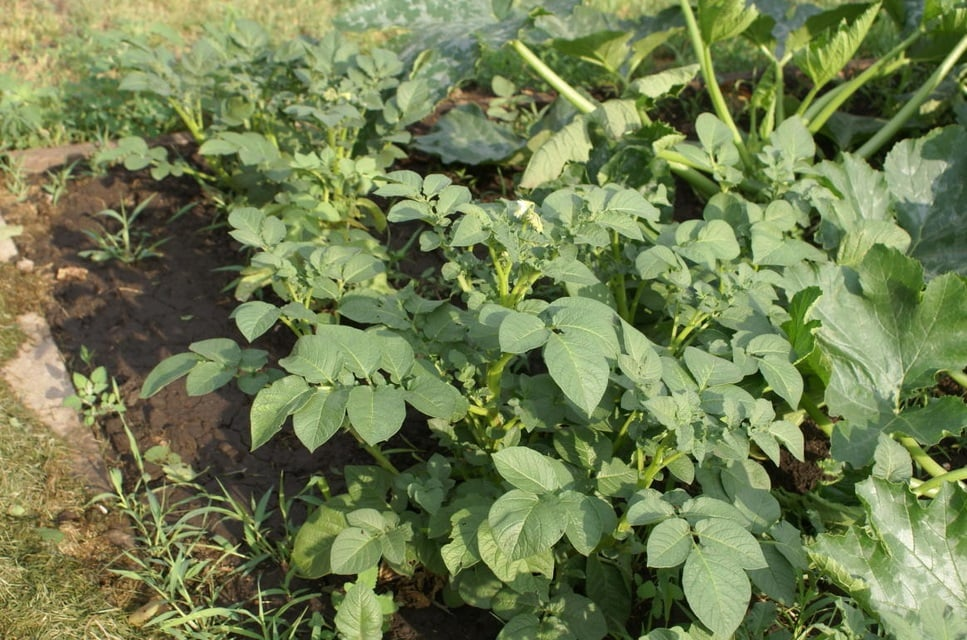 How to Grow Potatoes from Botanical Seeds?
