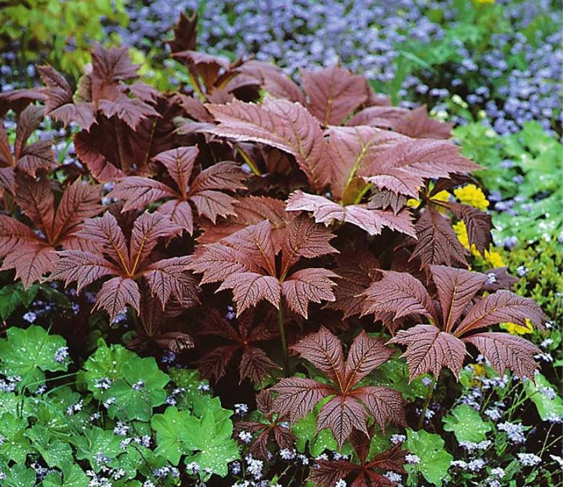 Shy Rodgersia. Types and Varieties.