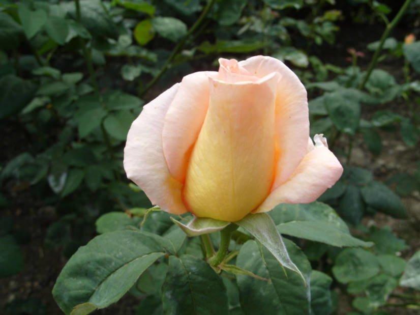 15 of the Best White, Cream, Yellow, Orange Tea-Hybrid Roses for Your Garden