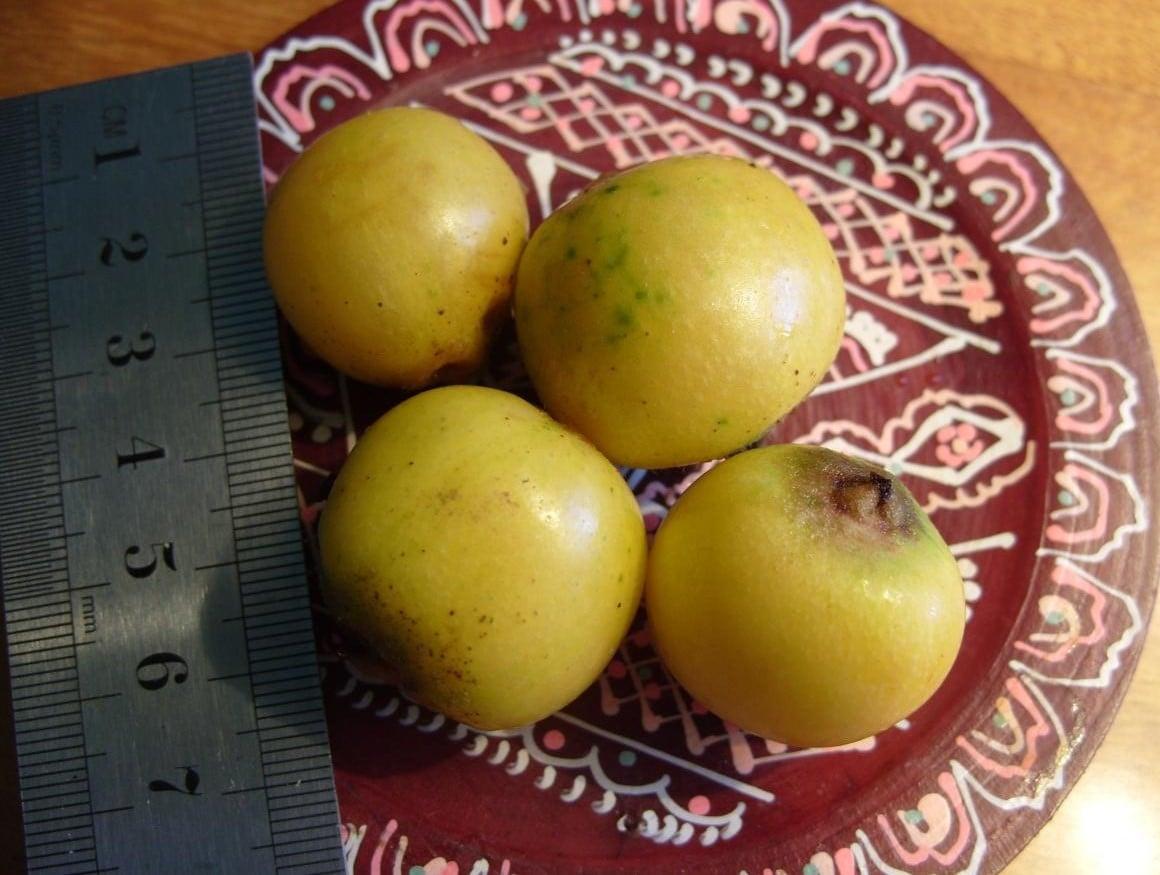 Useful Fruit Eriobotryaa Japonica