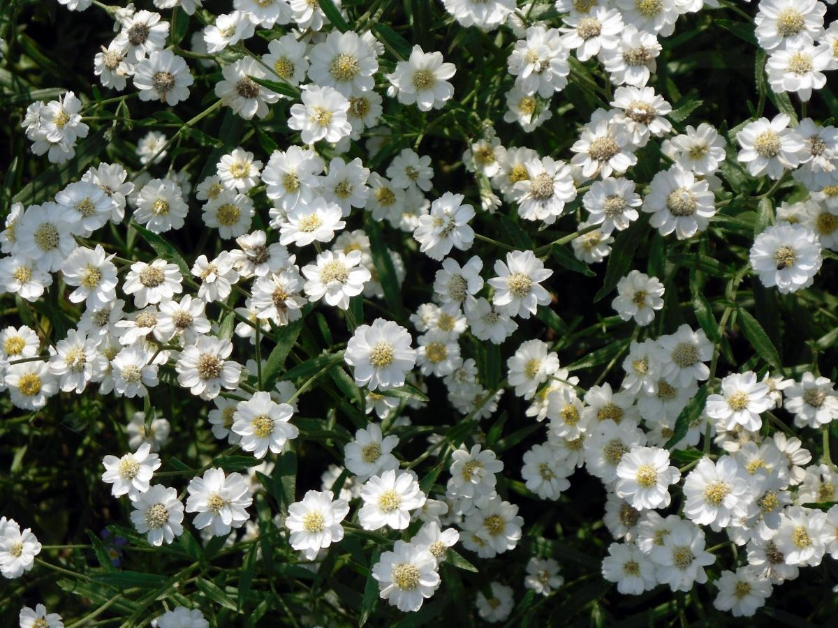 Forest and Field Plants in the Garden: Achillea