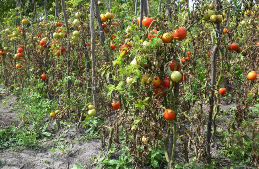 The Habits of Phytophthora