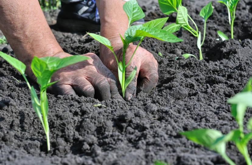 Useful Information: Pepper Seedlings Picking
