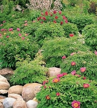 Peonies for Slides and Rock Gardens