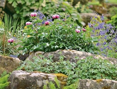 21 - Peonies for Slides and Rock Gardens