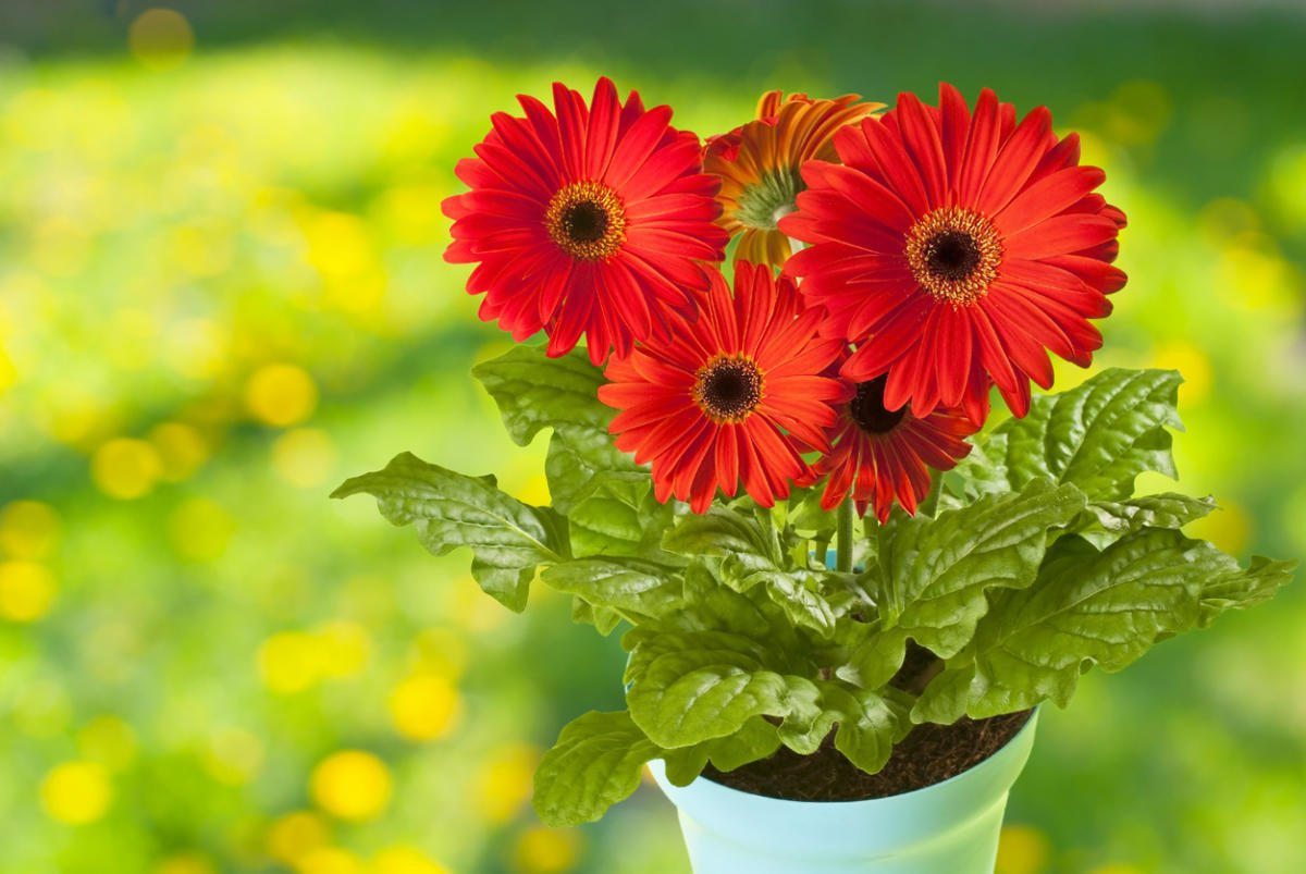 Gerbera in Your Garden