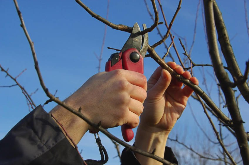 Common Mistakes of Gardeners when Pruning Trees and Shrubs 1 - Common Mistakes of Gardeners when Pruning Trees and Shrubs