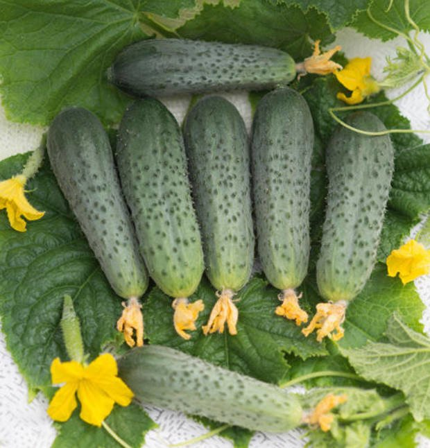 What's the Secret to the Yield of Cucumber