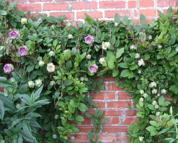 Cobaea is the Best Option to Decorate Your Garden