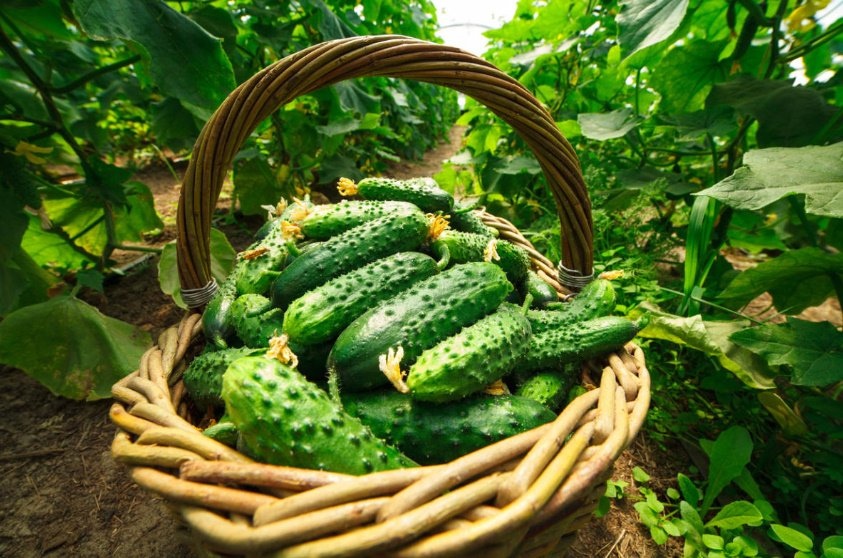 How to choose a variety of cucumbers for greenhouses 2 - How to Choose a Variety of Cucumbers for Greenhouses