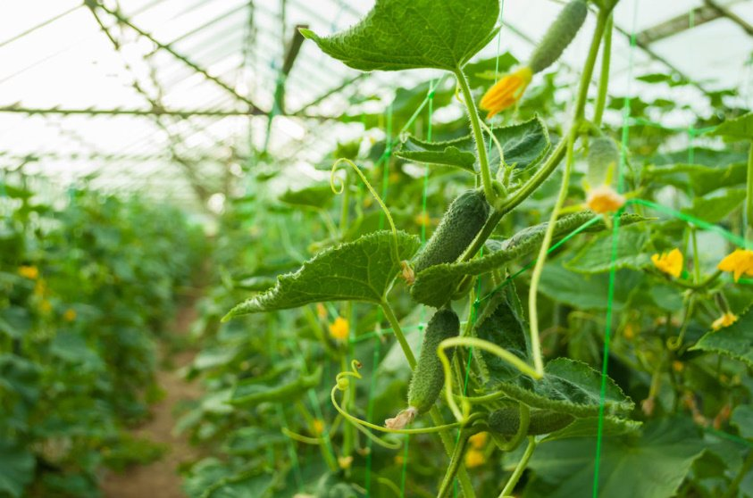 How to Choose a Variety of Cucumbers for Greenhouses