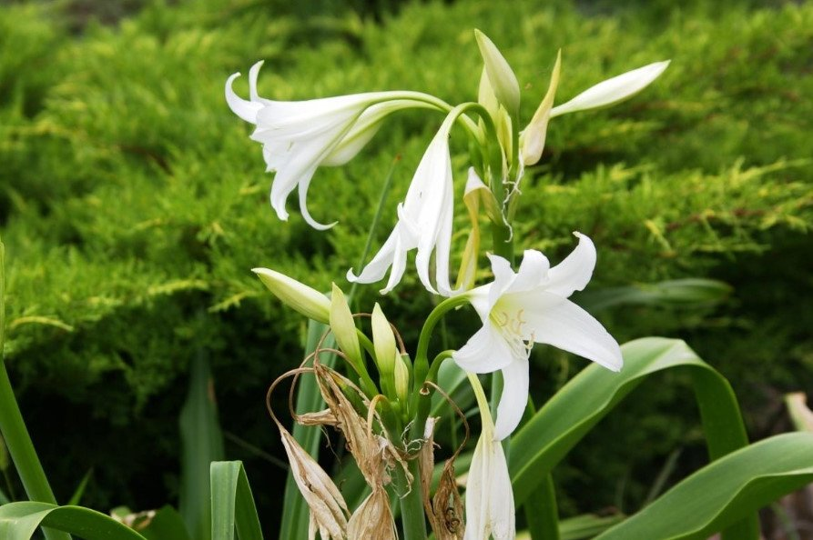 Rare bulbous plants from the family of Amaryllis 1 - Rare Bulbous Plants of the Family Amaryllidaceae