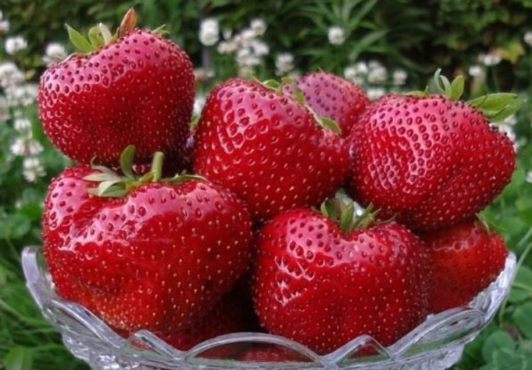 Strawberry garden brief recommendations for cultivation and selection of varieties 1 - Strawberry Garden: Recommendations for Cultivation and Selection of Varieties