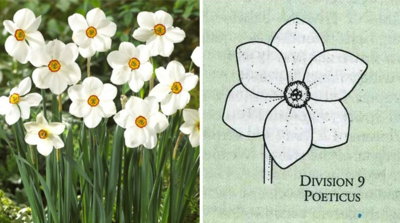 The Most Popular Varieties are Jonquilla, Tazetta, Poeticus, Wild Species, Split-Corona (Collar) Narcissus