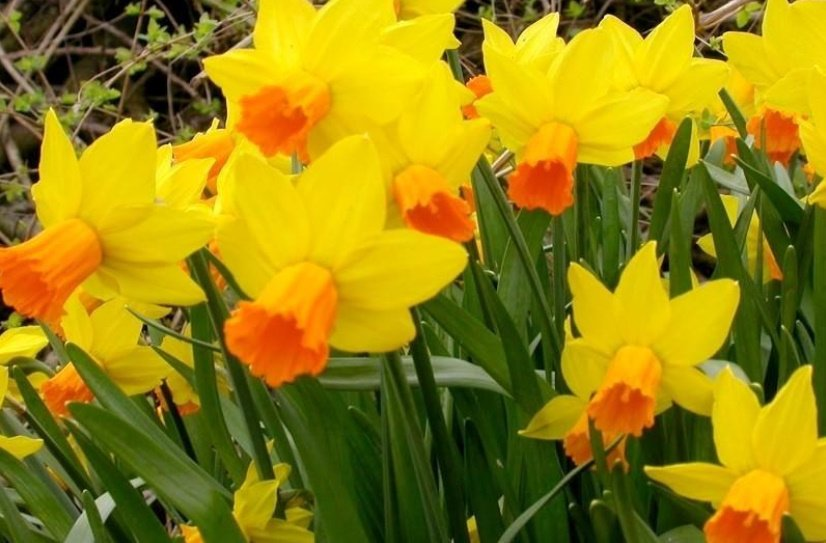 The Most Popular Varieties of Small-Cupped, Double, Triandrus, Cyclamineus Narcissus