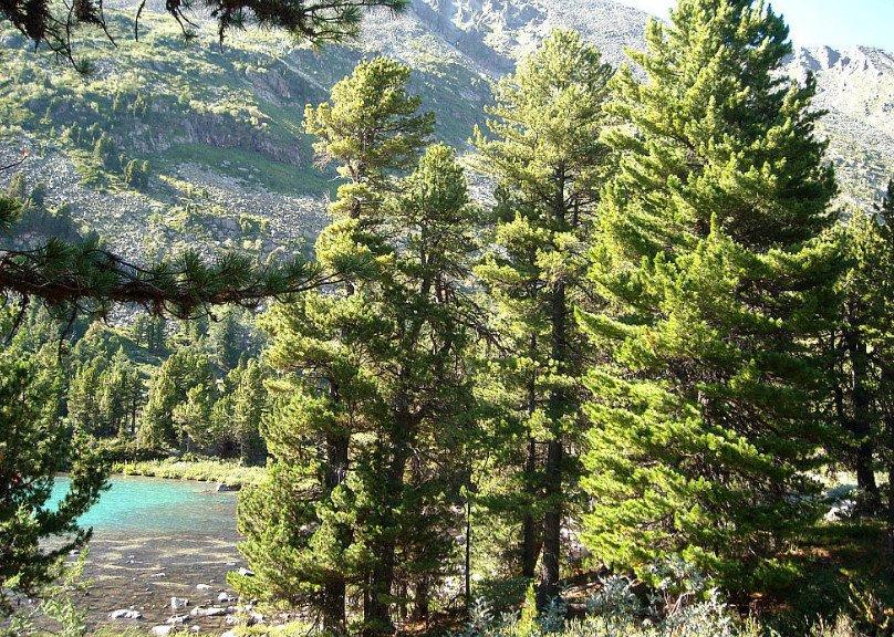 Grow cedar in your garden 1 - Grow Cedar in Your Garden