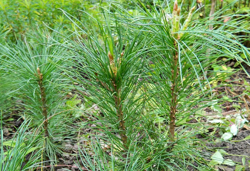 Grow Cedar in Your Garden