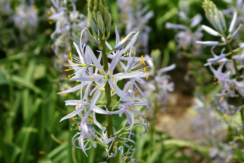 Rare Bulbous Plants of the Iris and Hyacinth Families