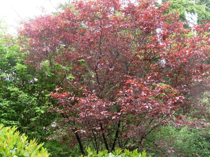 Red-Leaved Trees — Favorites of Cottages in Royal Clothes