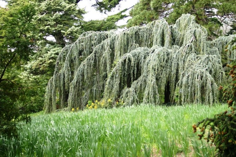Weeping conifers for the garden 1 - Weeping Conifers for the Garden