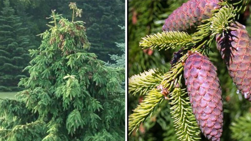 Weeping Conifers for the Garden