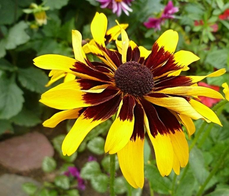 Rudbeckia - the Sun in the Flowerbed