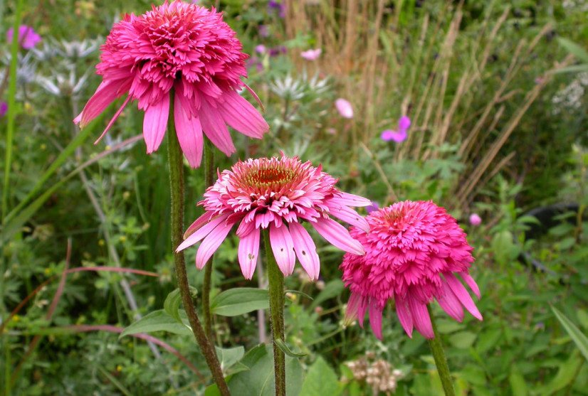 Echinacea Varieties Part 1 Best Landscaping Ideas