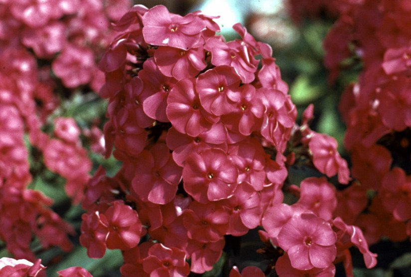 Phlox for the Collection: Choose the Color, Size, Shape, Timing of Flowering