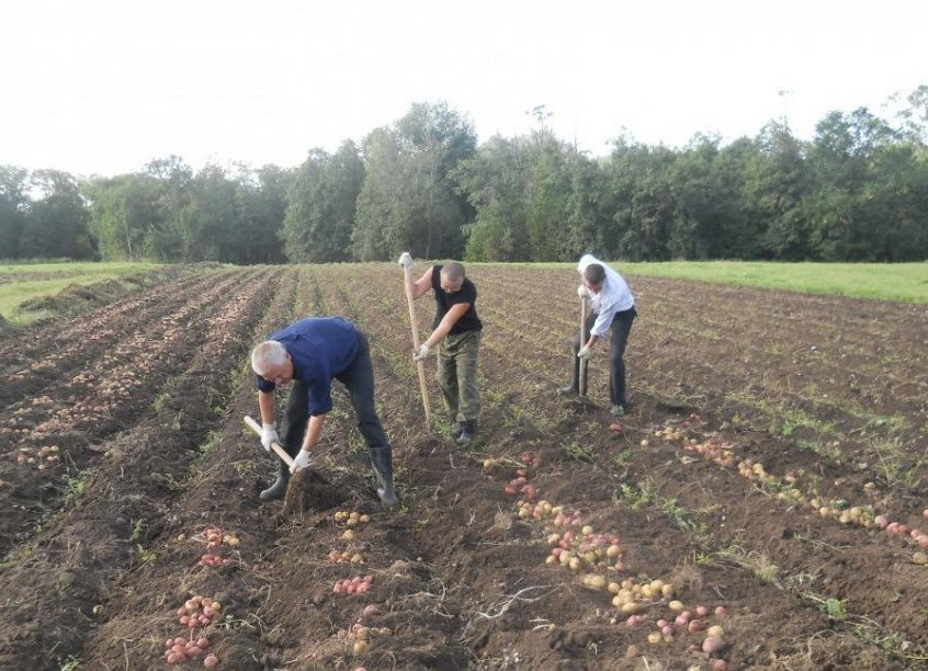 Planting Potatoes Cook in the Fall