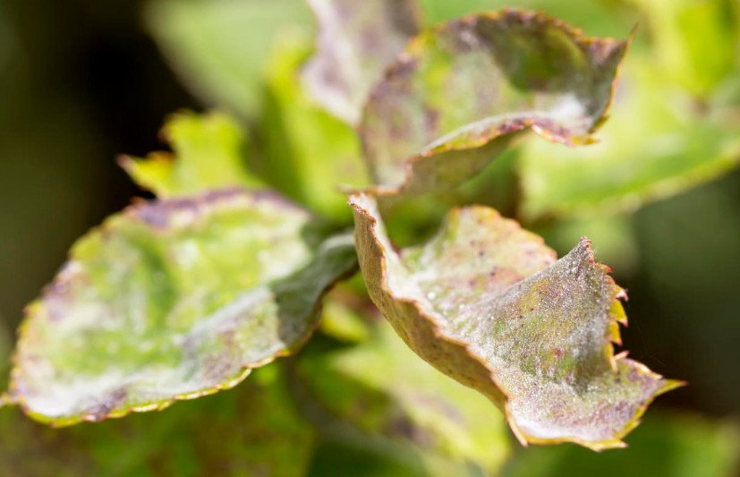 Powdery Mildew. Prevention and Treatment.