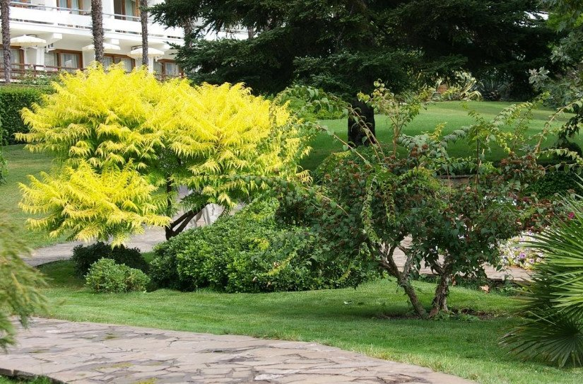 Trees And Shrubs With Yellow Leaves Photos And Names Features Of