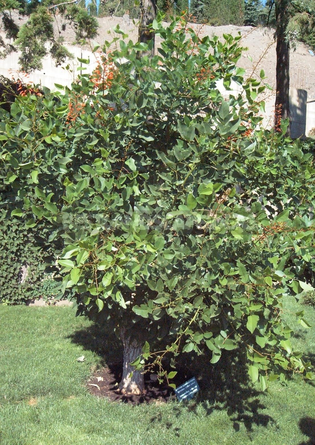 Erythrina - Coral Tree