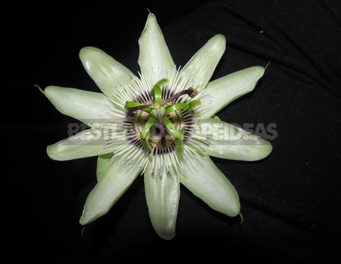 Passiflora - Unusual Flower